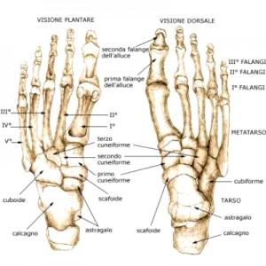 Anatomia  Plantare
